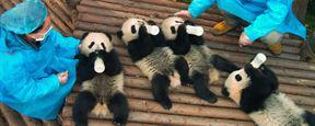 """Knuffig: Erster Trailer zur IMAX-Doku """"Pandas"""""""